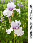 Close Up Of Light Lilac Bearde...