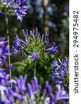 Small photo of African lily. Agapanthus africanus. Coroas de Henrique. Flor del amor.