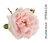 Pink Rose With Buds Isolated O...