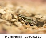 young frog resting in a pond | Shutterstock . vector #295081616