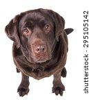 Chocolate Labrador Dog Girl Is...