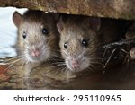 Two Cute And Curious Brown Rat...