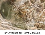 Small photo of Funnel-web spider, Agelena labyrinthica in net