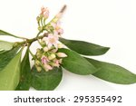 Small photo of Ardisia polycephala Wall, Ardisia polycephala Wall.ex ADC, medicinal treatment.
