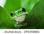 Cute Little Green Tree Frog...