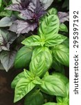 Green And Violet Basil On A...