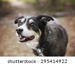 a australian shepherd dog out... | Shutterstock . vector #295414922
