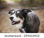 a australian shepherd dog out...   Shutterstock . vector #295414922