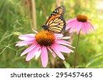 "A ""monarch Butterfly""  Danaus..."