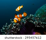 Two Clownfish In Their Host...