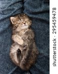 Stock photo close up of cute tabby kitten sleeping on blue jeans background 295459478