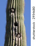 Birds Nesting In A Saguaro...