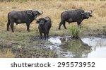 Cape Buffaloes  Syncerus Caffe...