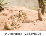 Meerkat Family In Zoo