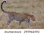 Female Leopard Siri In Masai...