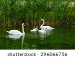 Swans On The Lake. Swans With...