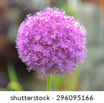 Wasp On A Allium Globemaster I...