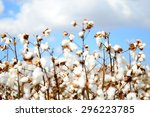 cotton field | Shutterstock . vector #296223785