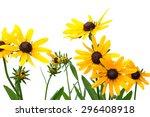 Yellow Rudbeckia On White...