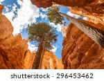 Pine Trees In Bryce Canyon ...
