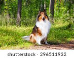Rough Collie Or Scottish Colli...
