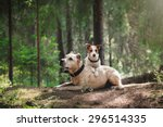 Stock photo jack russell terrier and a pit bull in the forest 296514335