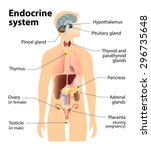 endocrine system. human anatomy.... | Shutterstock . vector #296735648