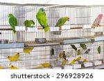 Parrots For Sale At Pet Shop