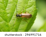Small photo of Tobacco coloured longhorn beetle, Alosterna tabacicolor on leaf