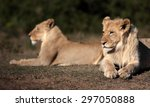 two lion. a lioness and her... | Shutterstock . vector #297050888
