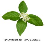 Pagoda Dogwood Flower And ...