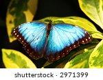 common morpho butterfly   Shutterstock . vector #2971399