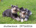 Two Mini Schnauzer Dogs Playin...