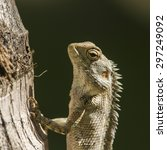 Small photo of Oriental garden lizard in Pottuvil, Sri Lanka ; specie Amaurornis phoenicurus
