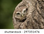 Little Owl Peering Out Of A...