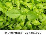 Green Fresh Basil  Background ...