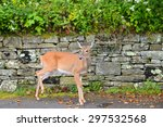 White Tailed Deer Fawn In...
