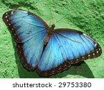 Beautiful Blue Morpheus...