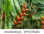 Red Palulu Blooming Heliconia...