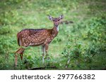 Spotted Deer In Habitat