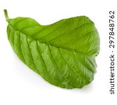 guava tree leaf close up macro...   Shutterstock . vector #297848762