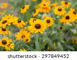 Group Of Rudbeckia Hirta...