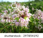 Small photo of Wild onion (Allium canadense) growing in a meadow.
