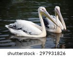 Two Pelican Swim In The Pond