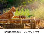 Orange Tabby Cat In Field