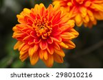 Orange Chrysanthemums With...