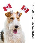 Small photo of Wire fox terrier dressed to celebrate Canada Day.