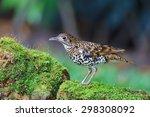 white thrush or tiger thrush... | Shutterstock . vector #298308092