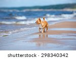 chihuahua dog walking on the... | Shutterstock . vector #298340342