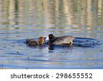Small photo of Fledgling American Coot chick drops food his mother has brought him